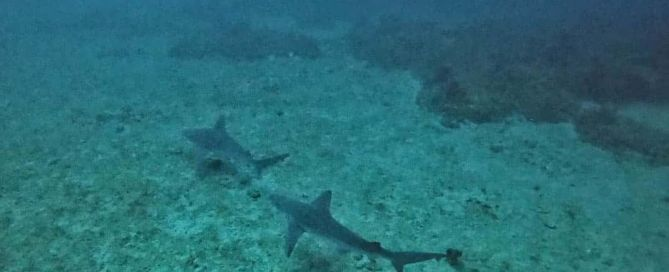 Sharks on the reef